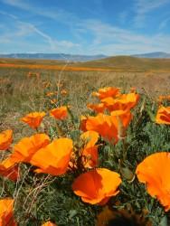 Antelope Valley Poppy Preserve (Lancaster, CA)